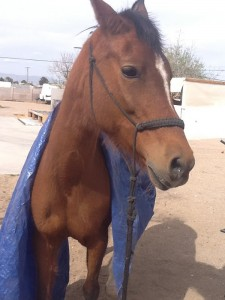 Tarp wearing horse